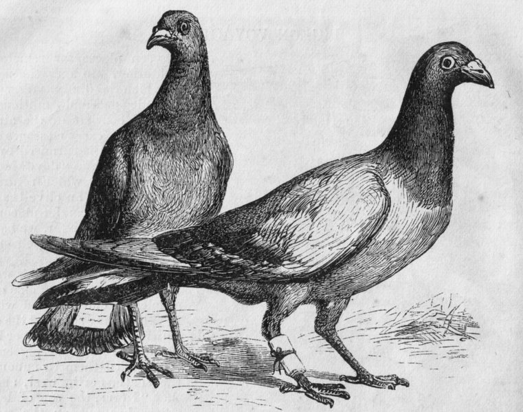 761px-Pigeon_Messengers_(Harper's_Engraving)